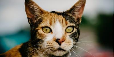 Testa del gatto calico
