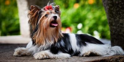 Schickes Energiebündel: Der Biewer Yorkshire Terrier