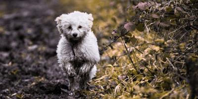 cane-bolognese-che-corre-tra-le-foglie