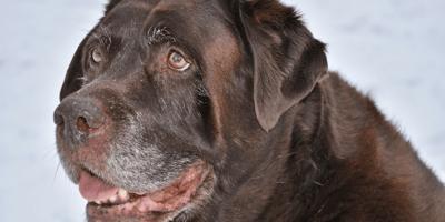 cane-marrone-anziano-con-diarrea-boccheggia