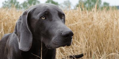 I sintomi di un cane con forasacco in gola