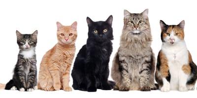 kolory umaszczenia kotów