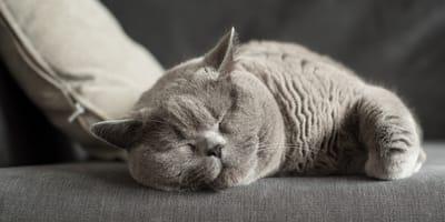 British Shorthair Katze
