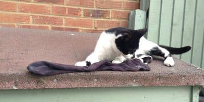 Gatto con un calzino
