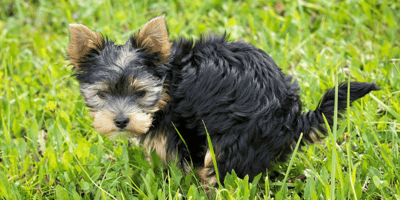 Puppy yorkshire pooping