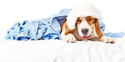 Sehr kranker Hund hustet