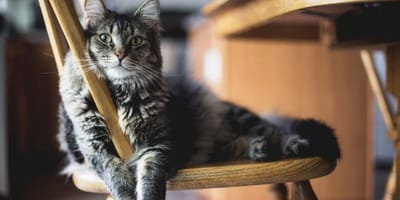 Kat ligt op stoel