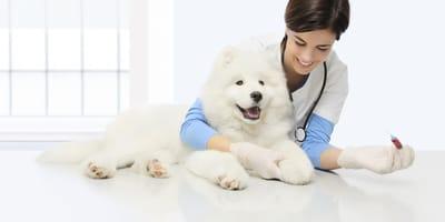 Czy u psów występują różne grupy krwi?