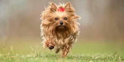 Las más bellas razas de perros con pelo largo