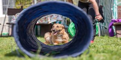 Agility para perros: ¿cómo hacer un circuito?