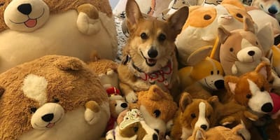 Small yellow dog sits among lots of soft toys