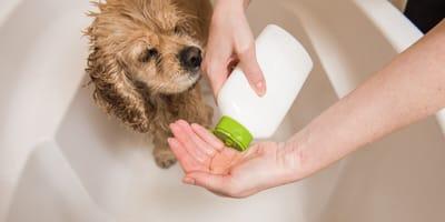 Wasser und Schaum: Wenn der Hund shampooniert wird