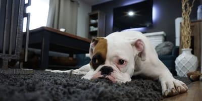 Brown and white English bulldog on the carpet