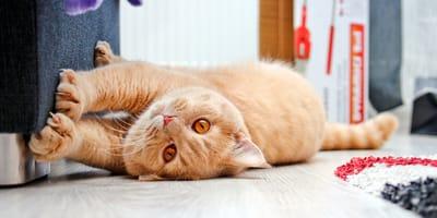 Il gatto graffia i mobili? Come evitare la distruzione di casa!