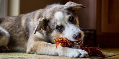 Freundlich und aktiv: Der Australian Shepherd Mix
