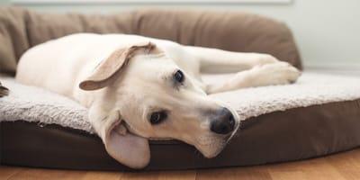 Legowisko dla labradora. Jak wybrać posłanie dla dużego psa?