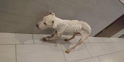 Łódzki Animal Patrol uratował zagłodzonego psa. Właścicielce grozi 5 lat więzienia