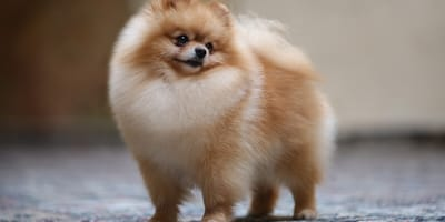 Everything you need to know about the Pomeranian cross