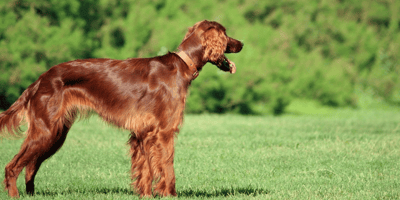 4 red dog breeds that are simply magnificent
