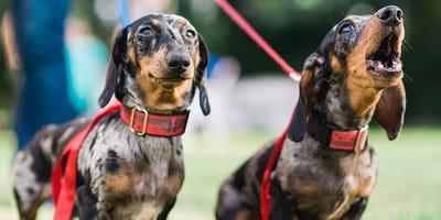 ¿Cómo usar la correa doble para perros?