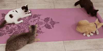 Cats may make a yoga mat unsanitary.