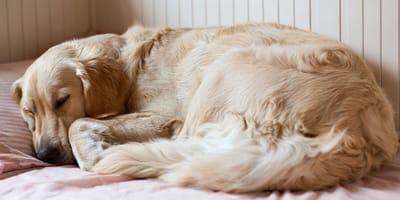 cane che dorme accucciato