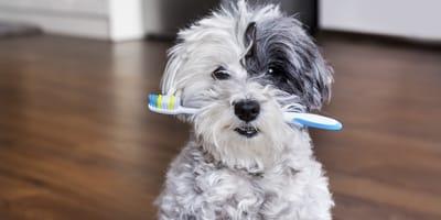 Zähneputzen beim Hund: So gelingt die tierische Zahnhygiene