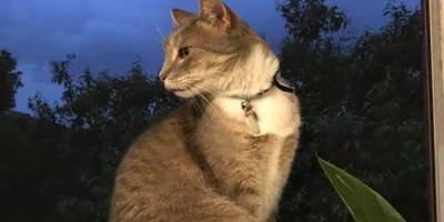 Gatto soriano grigio alla finestra
