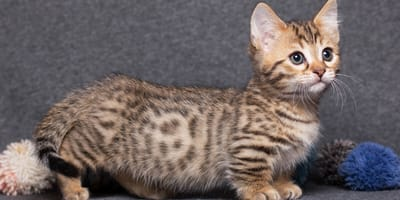 4 small cat breeds