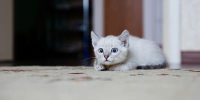 gato con enfermedad cardíaca