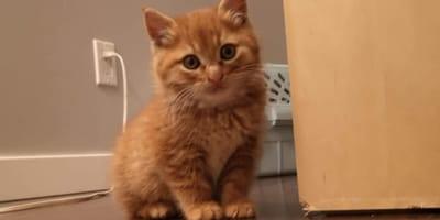 Ginger kitten sits on laminated floor