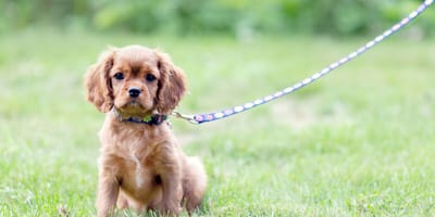 Become an expert: learn about puppy loose-lead training