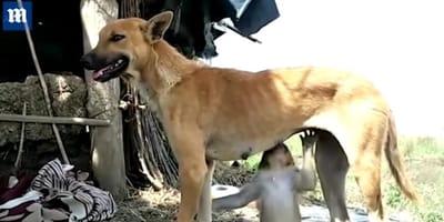 W Indiach suczka uratowała małpkę i otoczyła ją matczyną opieką!