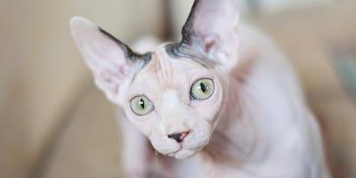 Wykryto nielegalną hodowlę sfinksów w Zielonej Górze, koty były w tragicznym stanie.
