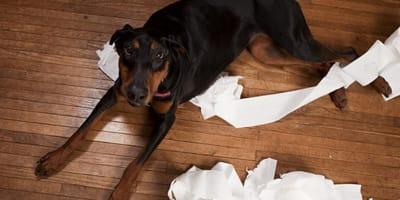 Hund mit Klopapier