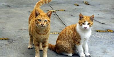 Dwa rude koty.