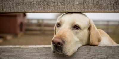 Pseudohodowla psów a prawo. Czym są pseudohodowle psów rasowych?