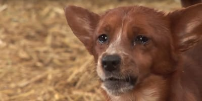 Trauriger Hund weint Kuh hinterher