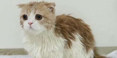 Ginger and white munchkin cat