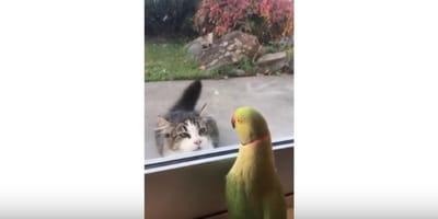 La strana sfida tra un gatto e un pappagallo (Video)