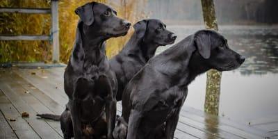 Wunderschön und ungefährlich: Schwarze Hunde