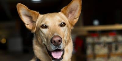 Nützliche Informationen zu den beliebten Husky-Mischlingen