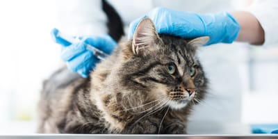 Everything you need to know about cat vaccination
