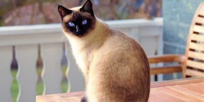 55 talkative oriental cats need to be rehomed