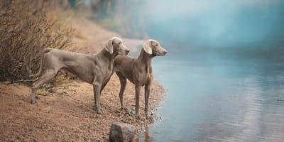 Graue Hunde an Ufer