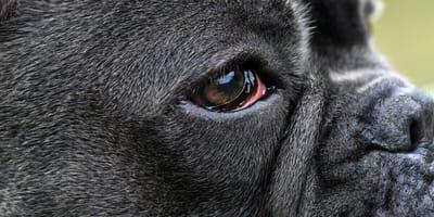 Umfangreiche Informationen zur Bindehautentzündung beim Hund