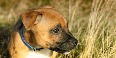 brown puppy's ear