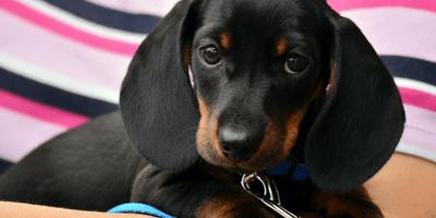 Puppy daschund with a collar
