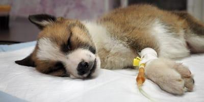 Hund mit Parvovirose