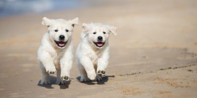 Weiße Hunde am Strand